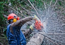 26652814 - professional lumberjack cutting a big tree in the forest during the winter